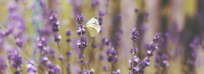White butterfly on purple flowers in field